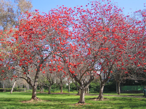 Coral Erythrina Fusca Tree.jpg